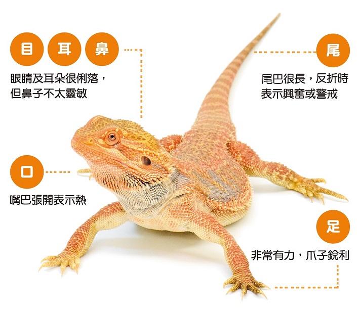 橘黃色的鬆獅蜥