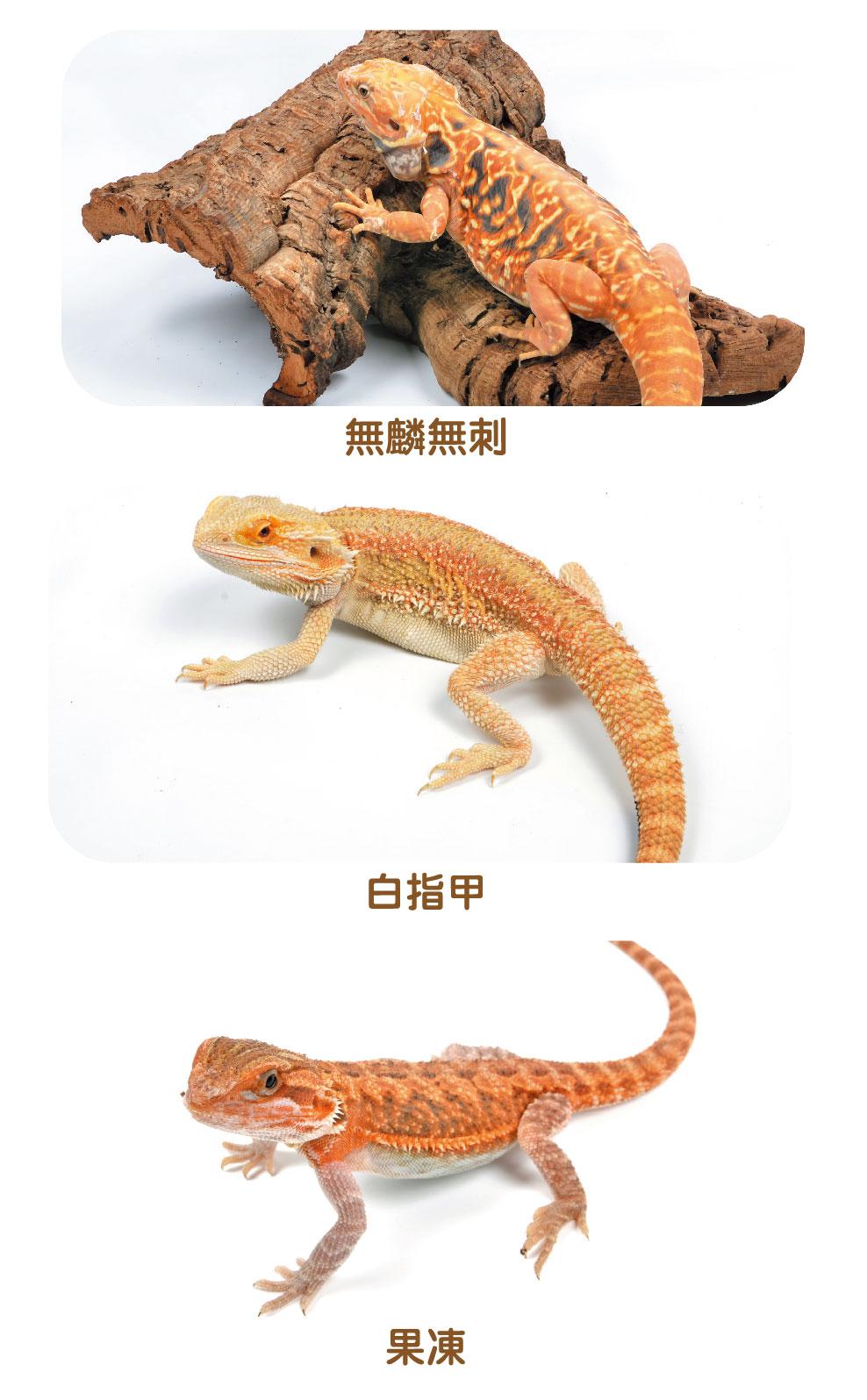 鬆獅蜥的種類介紹