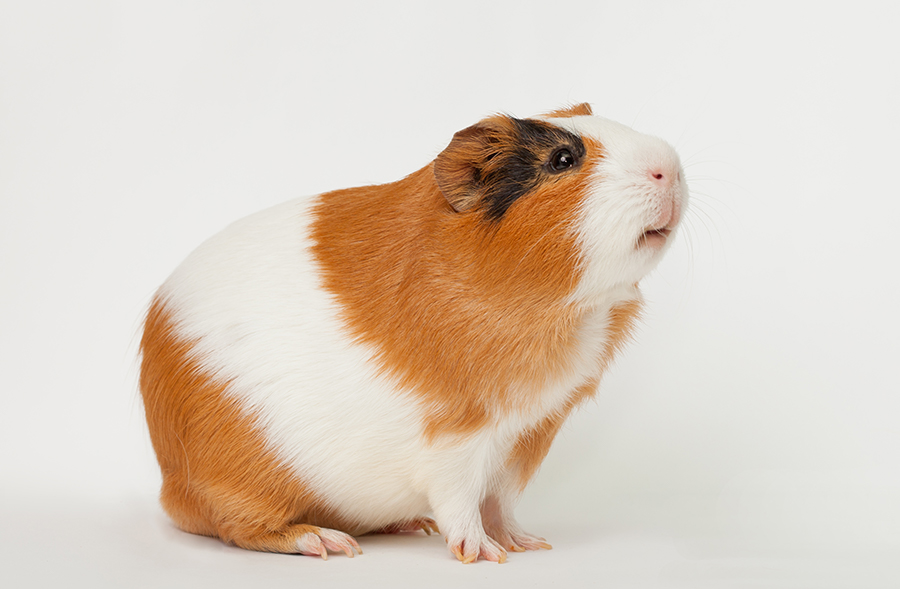人氣寵物天竺鼠大進擊 飼養新手必讀,天竺鼠的飼養方法