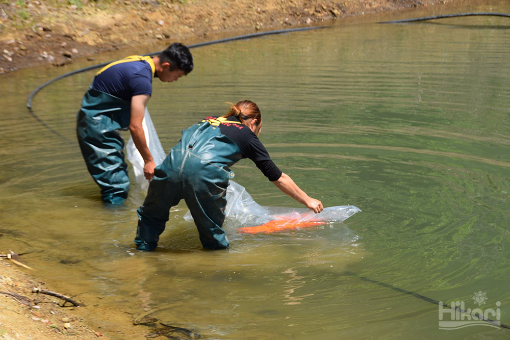 Hikari 日本錦鯉團隊的新連載企劃 「錦鯉場工作特集」第1回「入池」