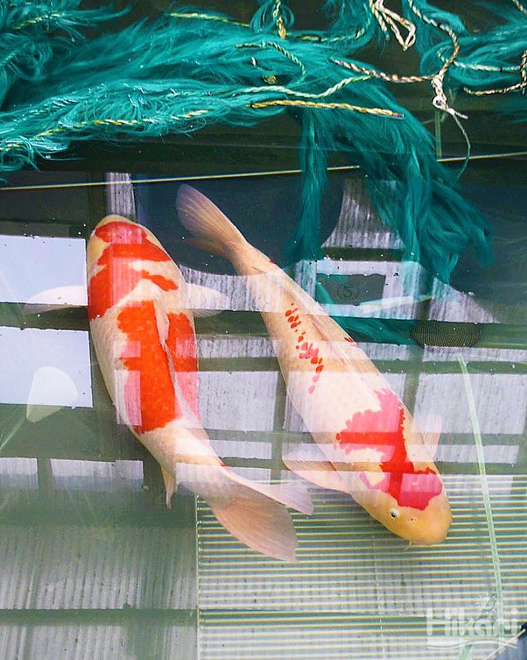 繁殖池中的成對錦鯉