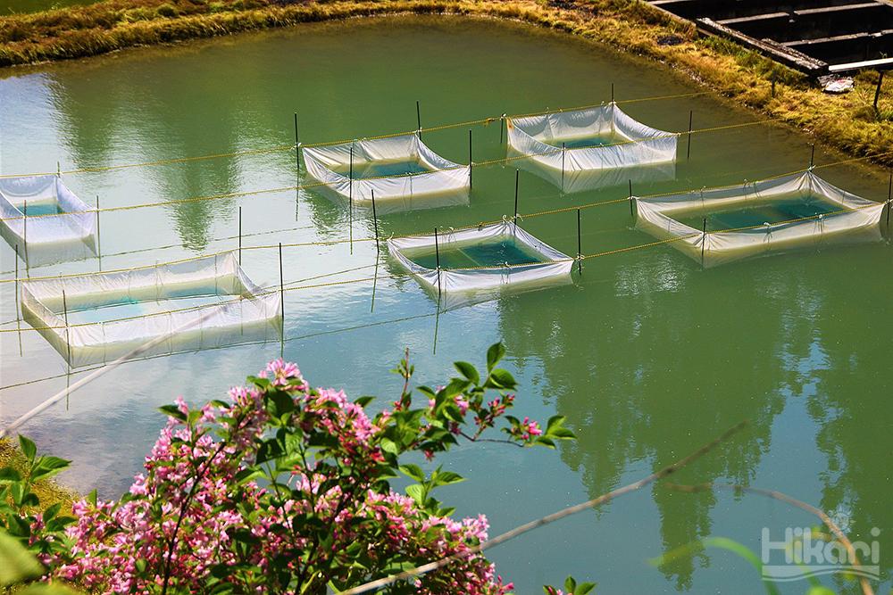 繁殖池中的人工產卵床 きんらん 金蘭