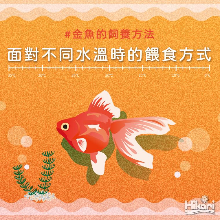跟著溫度變化調整餵食量 健康金魚的飼養方法!